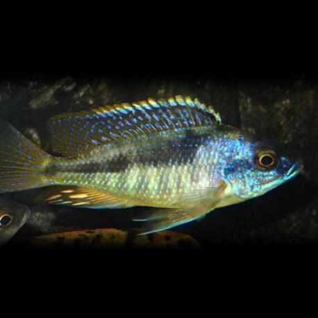 Haplochromis mola 4-5cm