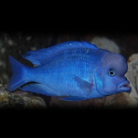 Haplochromis moorii 7-9cm