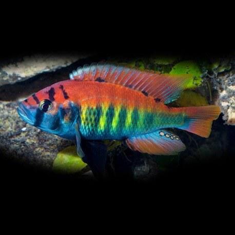 Haplochromis nyererei 4cm