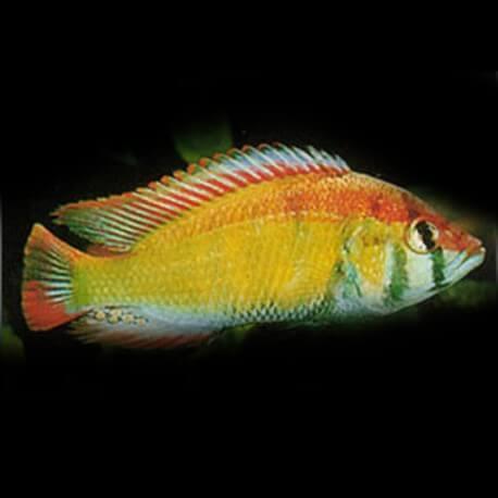 Haplochromis obliquidens 4 - 5 cm