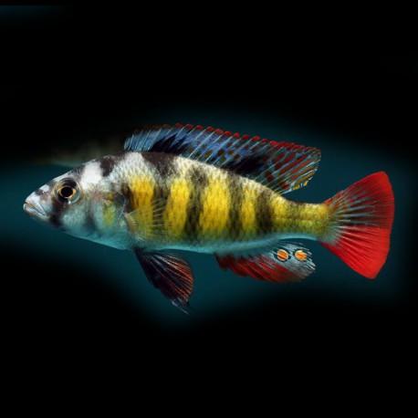Haplochromis obliquidens zebra 4 - 5 cm