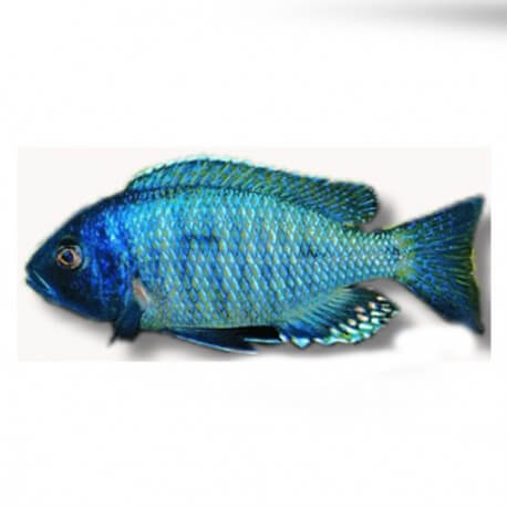 Haplochromis ovatus eastern 4-5cm