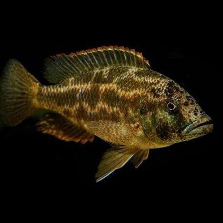 Haplochromis polystigma 4-5cm
