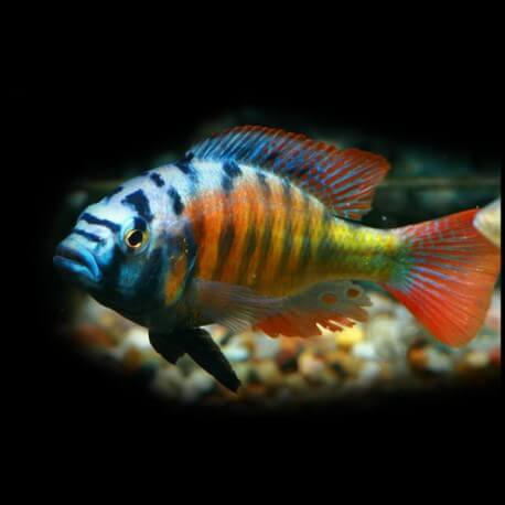 Haplochromis sp. ch 44 8cm