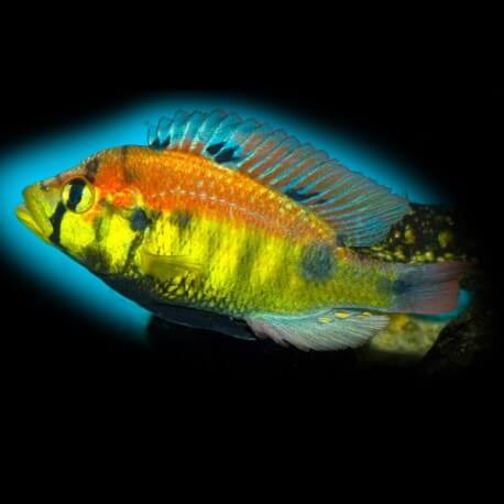 Haplochromis sp. yellow belly 4 cm