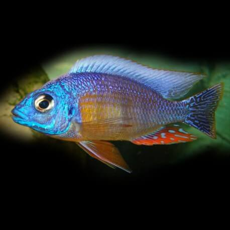 Haplochromis steveni 4 - 5 cm