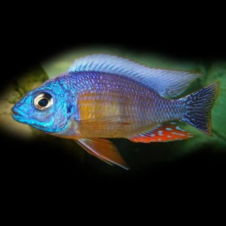 Haplochromis steveni 7-9cm