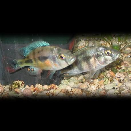 Haplochromis vanderhorstia 4-5cm