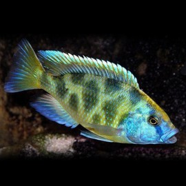 Haplochromis venustus 4 - 5 cm