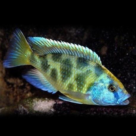 Haplochromis venustus 7-9cm