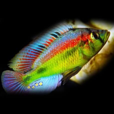 Haplochromis yellow belly 4 - 5 cm