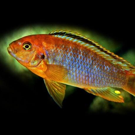 Iodotropheus sprengeri 4,5 - 6 cm