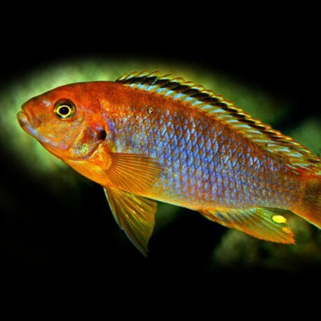 Iodotropheus sprengeri > 6,5 cm