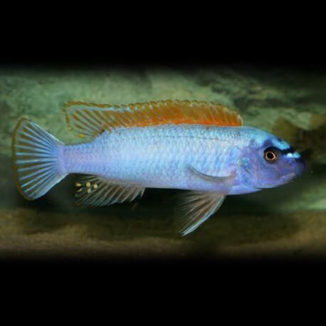 Labeotropheus trewavasae 6-7cm