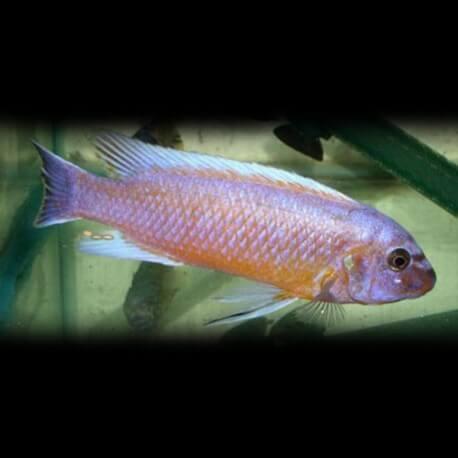 Labeotropheus trewavasae chilumba 4 - 5 cm