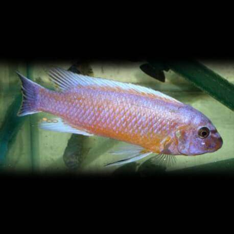Labeotropheus trewavasae chilumba XL