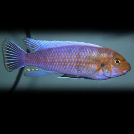 Labeotropheus trewavasae pombo 4-5,5cm