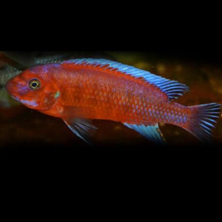 Labeotropheus trewavasae red 8cm