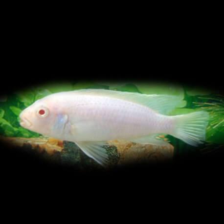 Labidochromis caeruleus albino 4-5cm