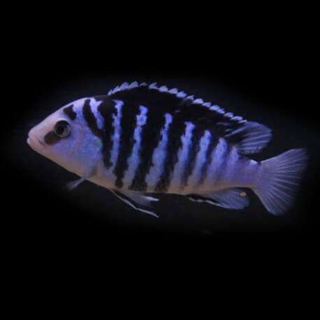 Labidochromis chisumulae 4-5cm