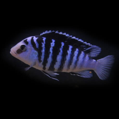 Labidochromis chisumulae XL