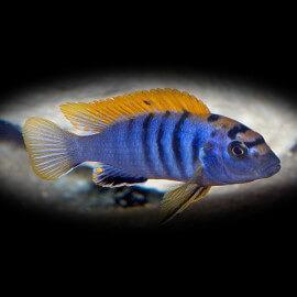 Labidochromis hongi 3,5 - 5 cm