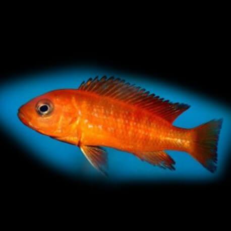 Labidochromis hongi orange 3,5 - 4 cm