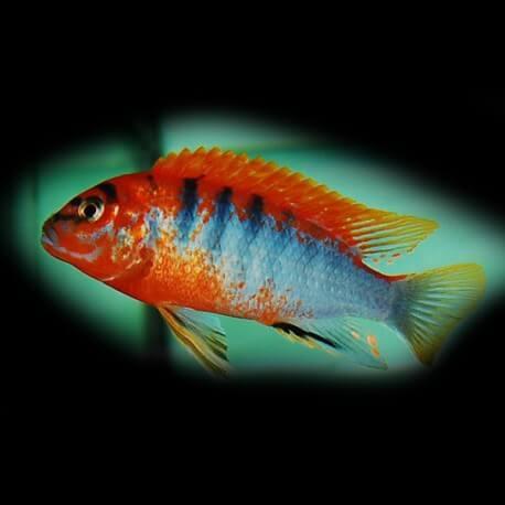 Labidochromis hongi sweden 4-5 cm