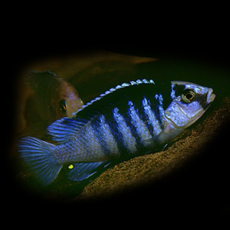 Labidochromis lundo blue 5-6cm
