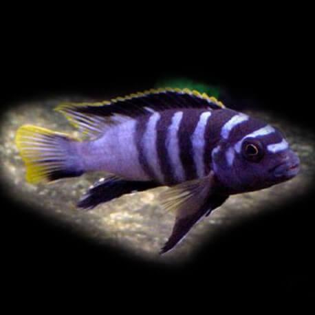 Labidochromis sp. mbamba 3,5 - 4 cm