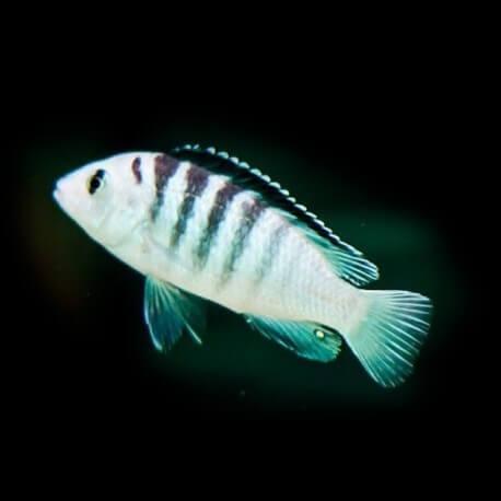Labidochromis sp. nkali 4-5cm