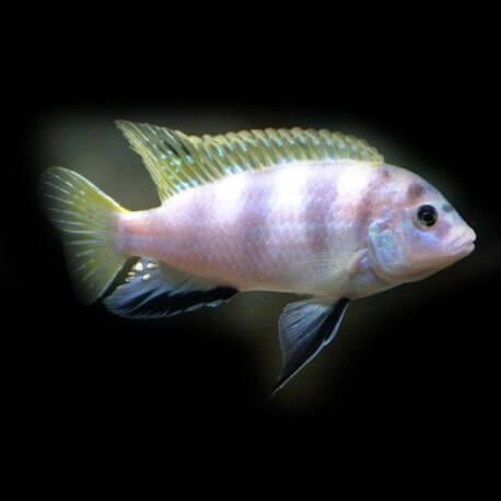 Labidochromis sp. perlmutt 3,5 - 4 cm