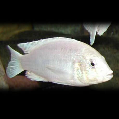 Labidochromis sp. white 4-5cm