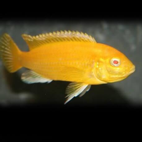 Labidochromis sp. yellow albino 3cm