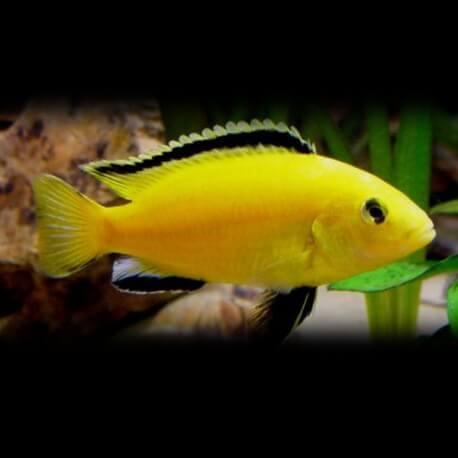 Labidochromis species yelow 3 cm