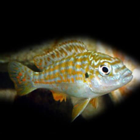 Labidochromis textilis 3,5-4,5cm