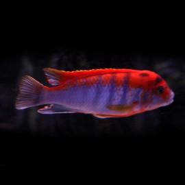 Labidochromis hongi red top 4-5cm