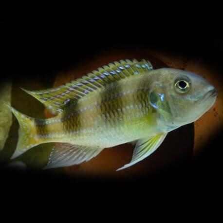 limnochromis auritus 5-6cm