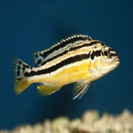 Melanochromis auratus 3 cm