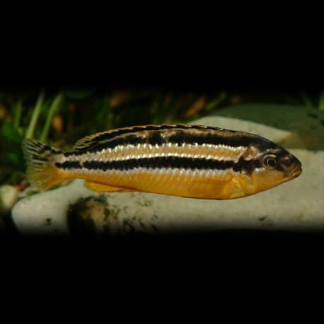 "Melanochromis auratus \"" dwarf \"" 4 cm"