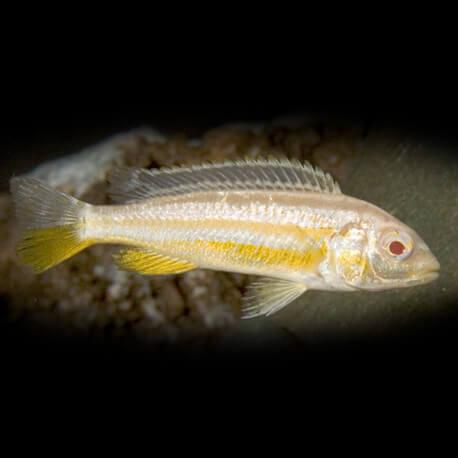 Melanochromis auratus albino 4 cm