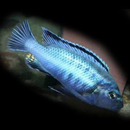 Melanochromis brevis 4-5cm