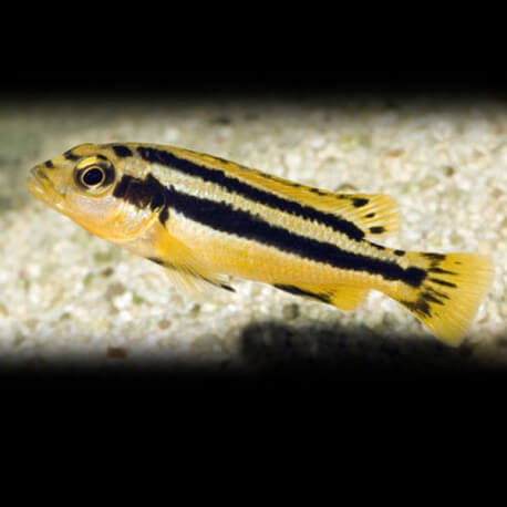 Melanochromis chipokae 3-4 cm