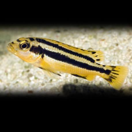 Melanochromis chipokae 6 - 7 cm
