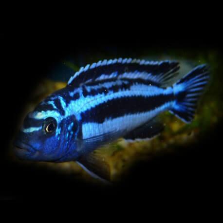 Melanochromis cyaneorhabdos 3,5 - 4 cm
