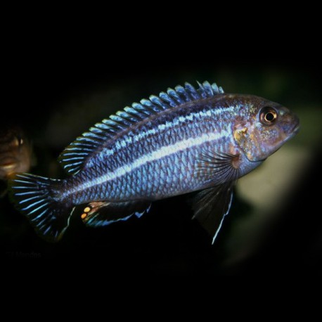 Melanochromis dialeptos 4,5 - 6 cm