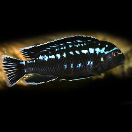 Melanochromis interuptus 4 - 5 cm