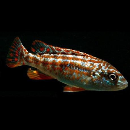 Melanochromis joanjohnsonae /exasp  7 cm