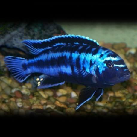 Melanochromis johanni 3 cm