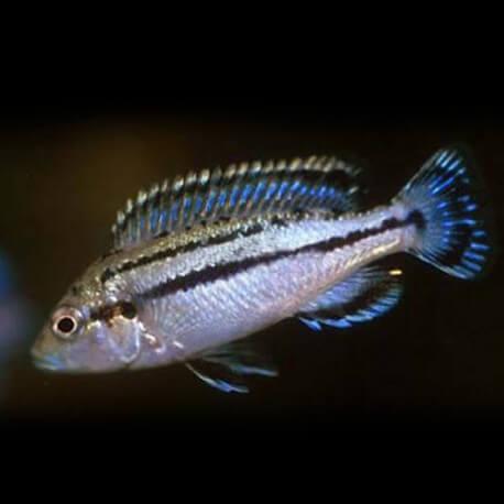 Melanochromis lepidophage 4-5cm